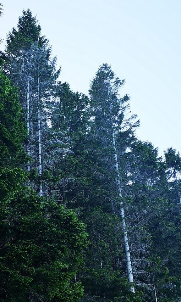 skogsdød 060618